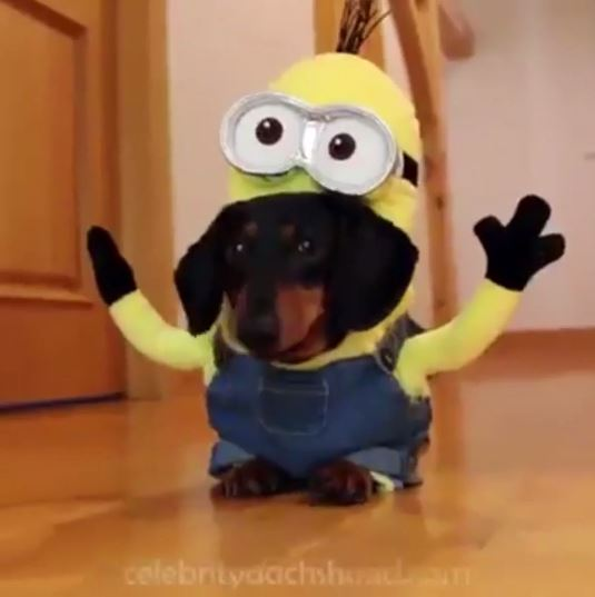 dogs dressed like minions
